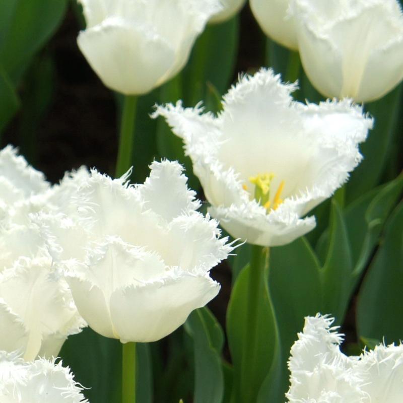 Тюльпан Дайтона (бахр.) Image