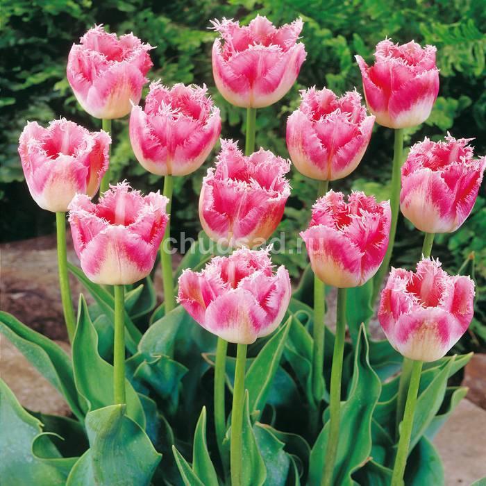 Тюльпан Фэнси Фрилс (бахр.) Image