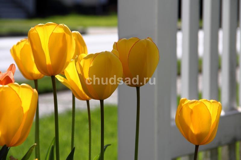 Тюльпан Голден Парад (дарв.) Image