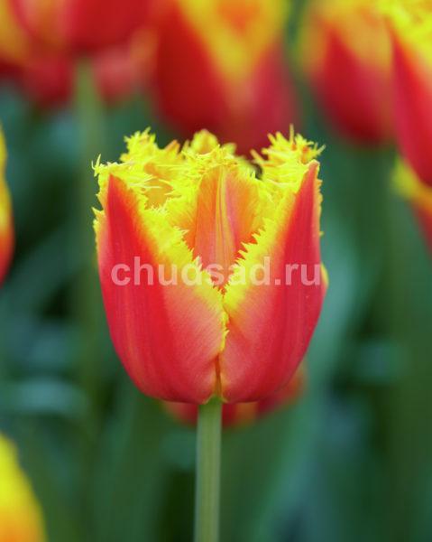 Тюльпан Канари (бахр.) Image