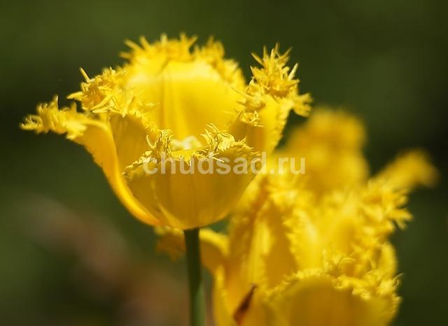 Тюльпан Майя (бахр.) Image