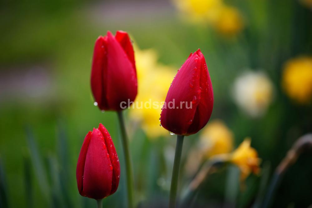 Тюльпан Ред Марк (триумф.) Image