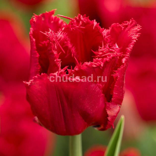 Тюльпан Ред Винг (бахр.) Image