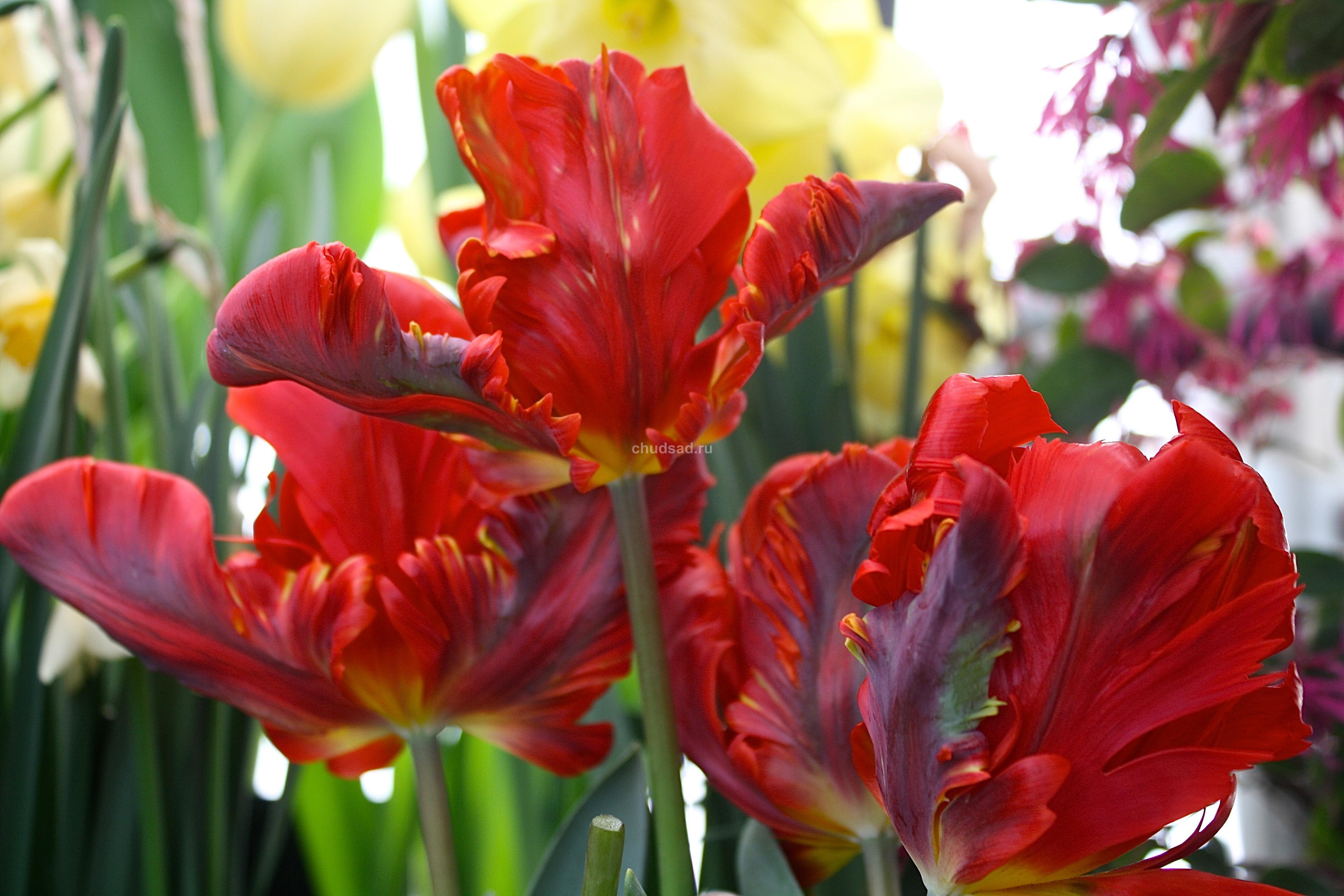 Тюльпан Рококо Дабл (2й эффект) Image