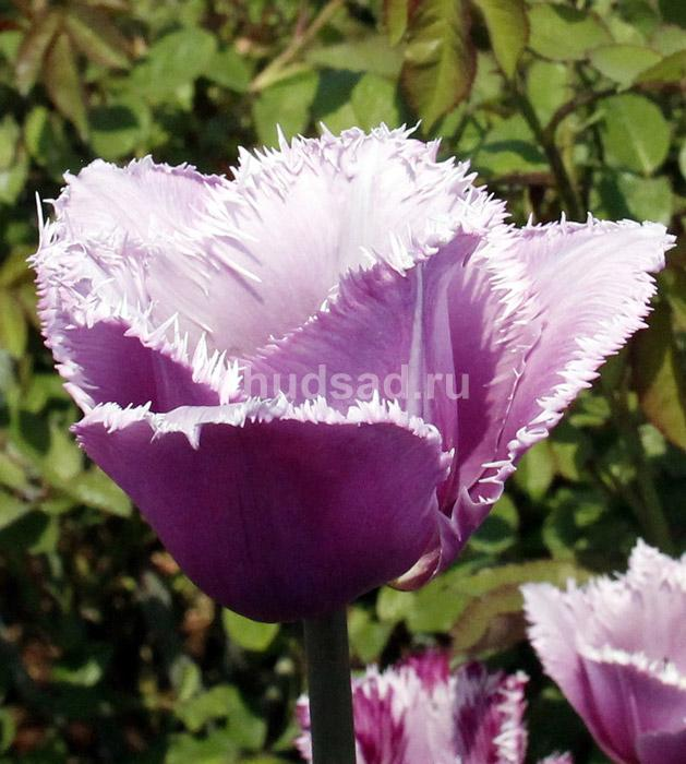 Тюльпан Тревеллер (бахр.) Image