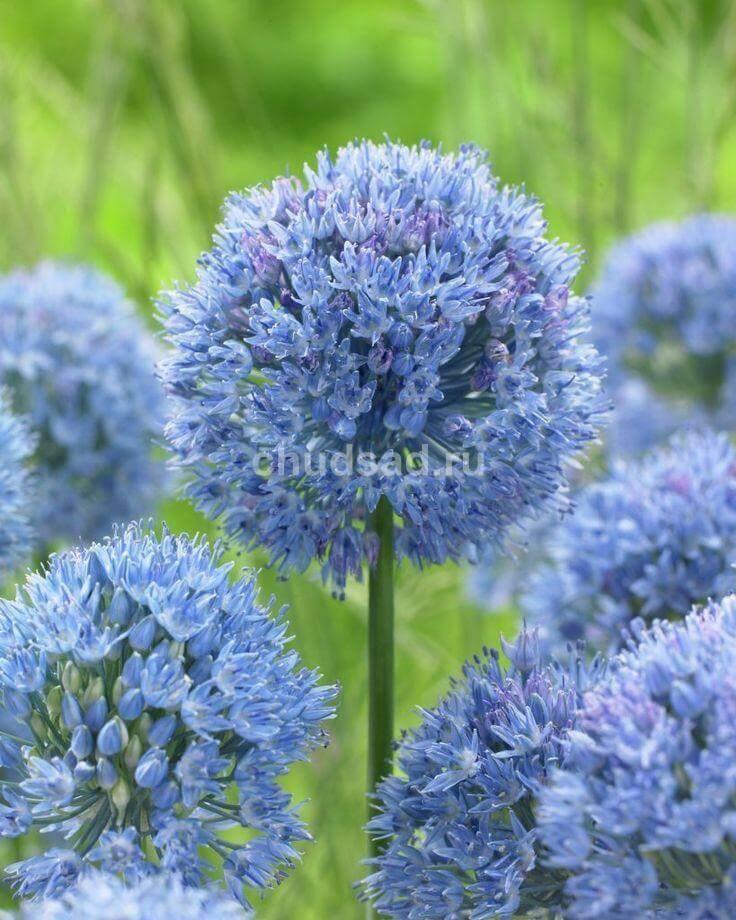 Лук декор. Голубой Image