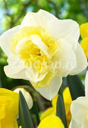 Нарцисс Дабл Плеже (махр.) Image