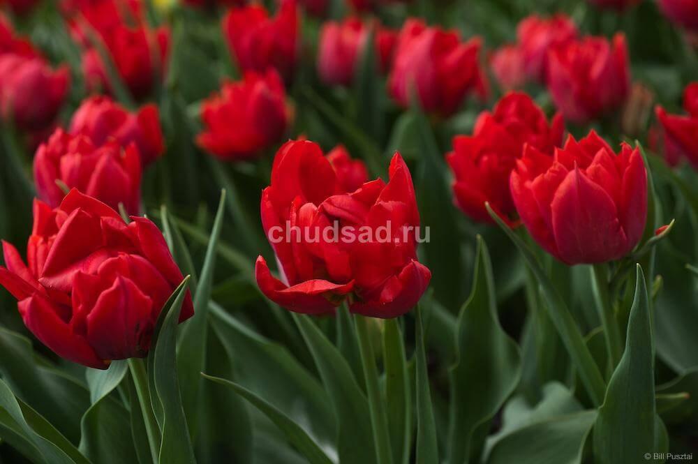 Тюльпан Абба (махр. Ранн.) Image
