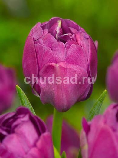 Тюльпан Абигайл (махр. поздн.) Image