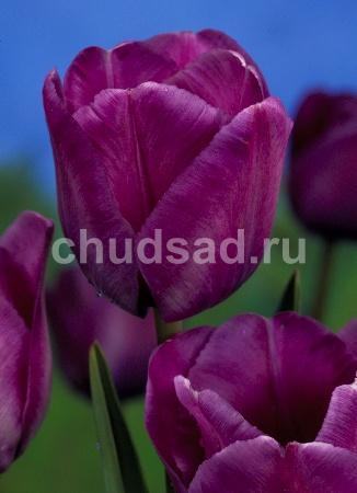 Тюльпан Блю Эймебл (пр.поздн) Image