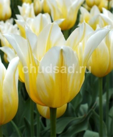 Тюльпан Будлайт (лил.) Image