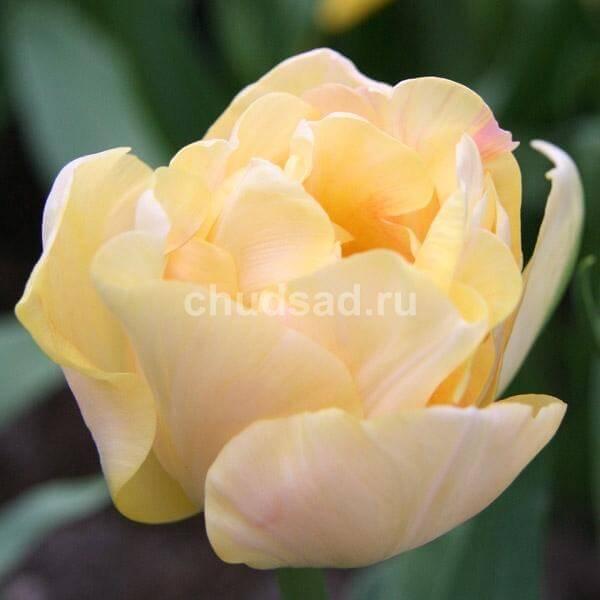 Тюльпан Шарминг Лейди (2й эффект) Image