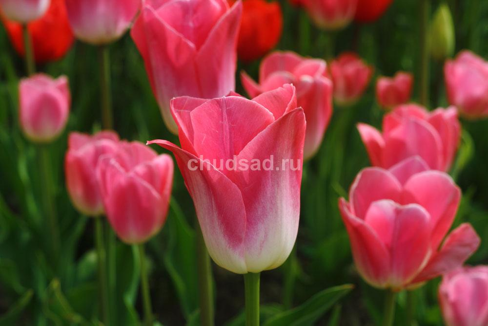 Тюльпан Кристина ван Кутен (лил.) Image
