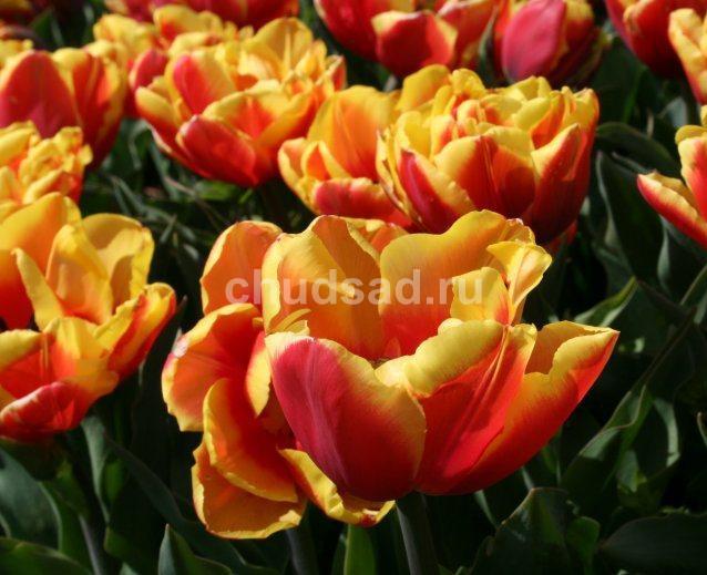 Тюльпан Дабл Фокус (махр. поздн.) Image