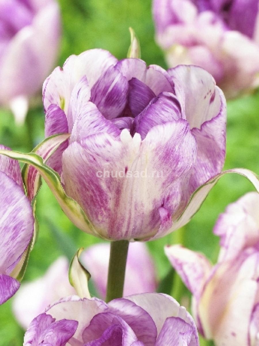 Тюльпан Дабл Ширли (махр. поздн.) Image