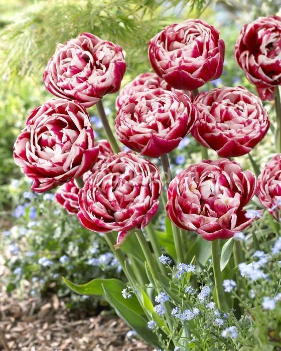 Тюльпан Драмлайн (махр. поздн.) Image