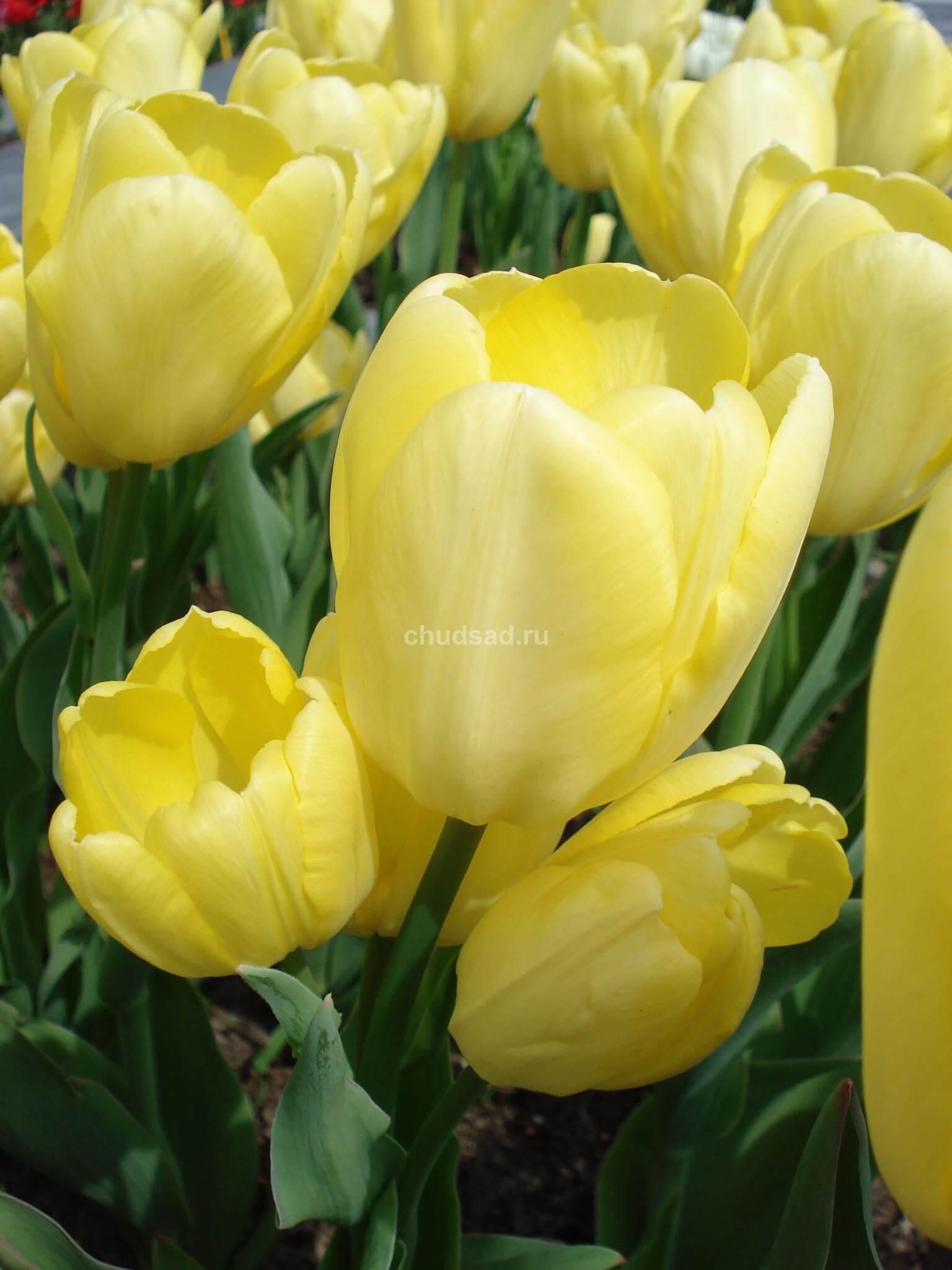 Тюльпан Фэтс Домино (мнгцв.) Image