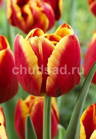 Тюльпан Хай Роулер (махр. ранн.) Image
