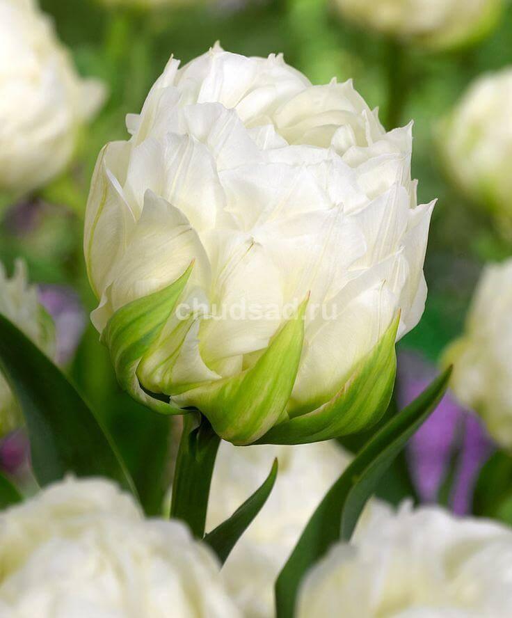 Тюльпан Айс Эйдж (махр. поздн.) Image