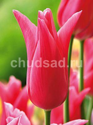 Тюльпан Жаклин (лил.) Image