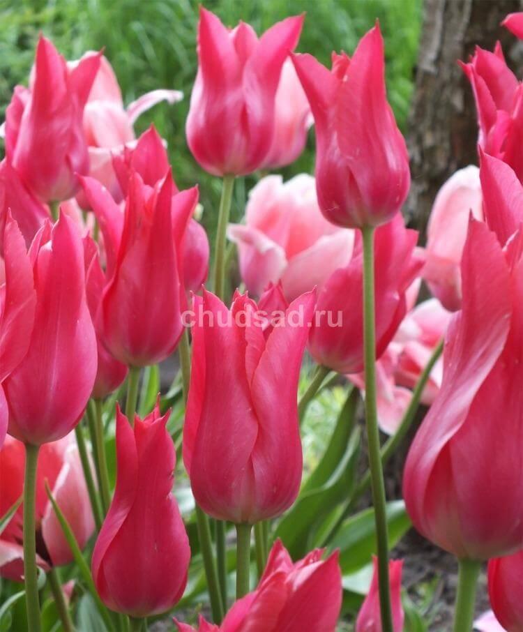 Тюльпан Мариетте (лил.) Image