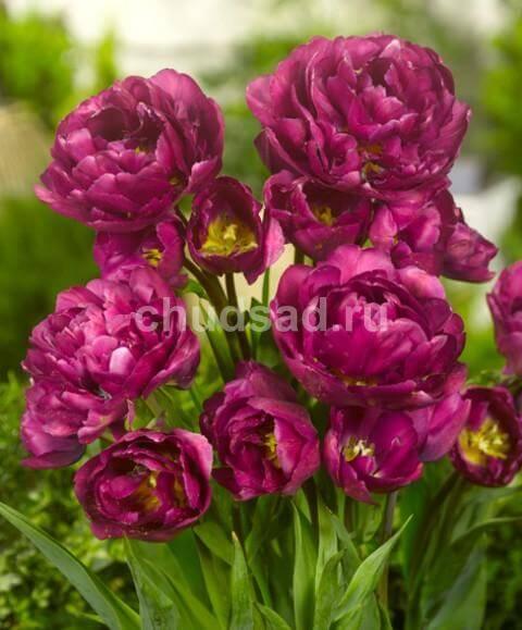 Тюльпан Мариола (2й эффект) Image