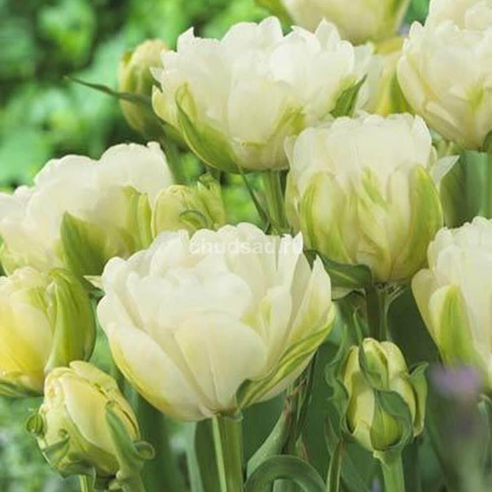 Тюльпан Морин Дабл (махр. позд. ) Image