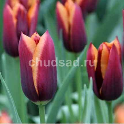 Тюльпан Мавота (триумф.) Image