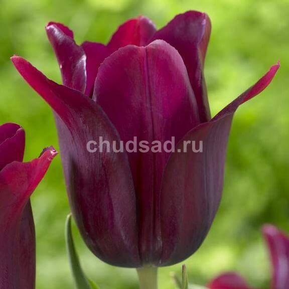 Тюльпан Мерло (лил.) Image