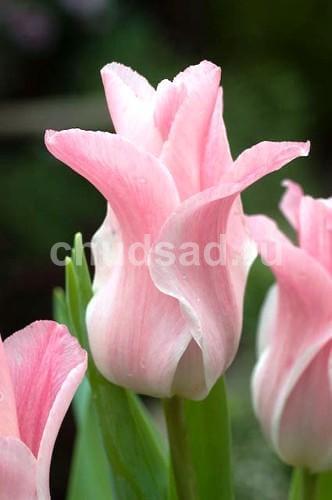 Тюльпан Мисс Элеганс (триумф) Image