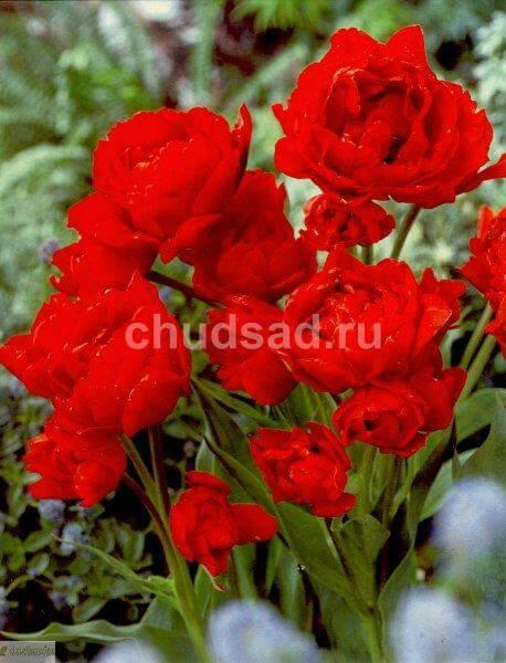Тюльпан Навона (2й эффект) Image