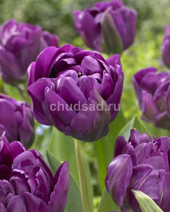 Тюльпан Негрита Дабл (махр. поздн.) Image