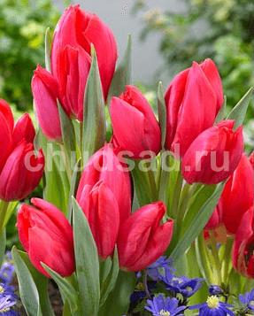 Тюльпан Серенити (мнгцв.) Image