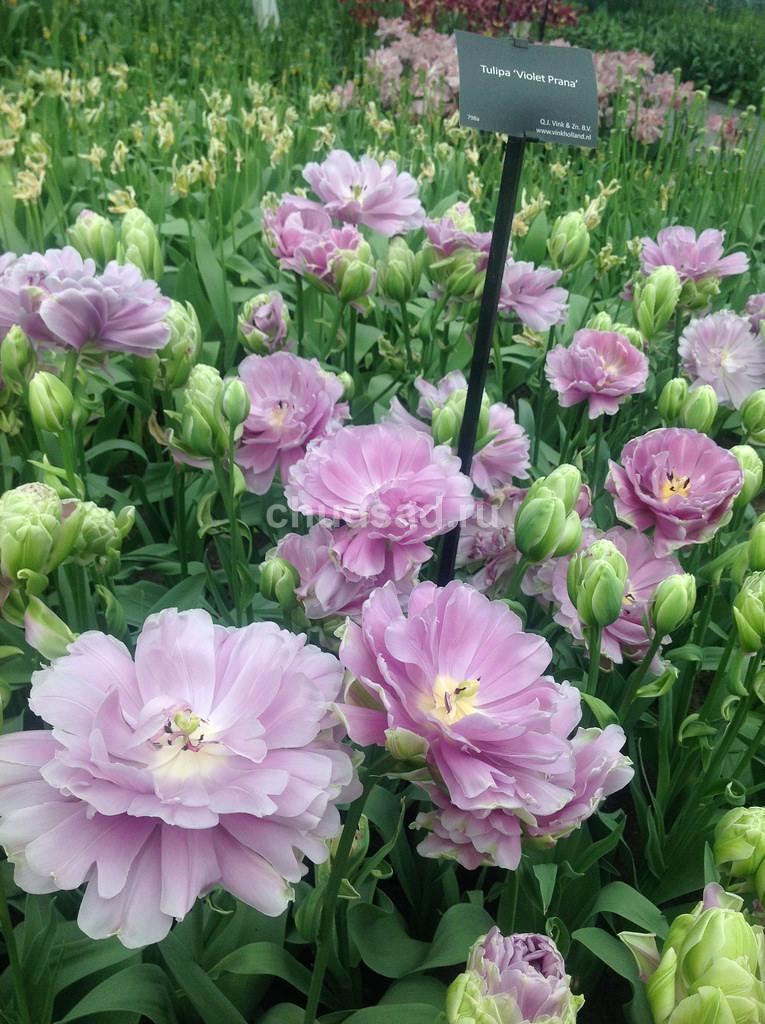 Тюльпан Виолет Прана (2й эффект) Image