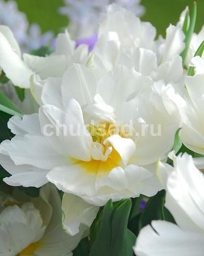 Тюльпан Мондиал (махр. ранн.) Image