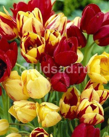 Тюльпан Многоцветковые,смесь (мнгцв.) Image