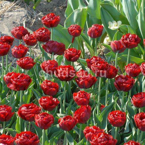 Тюльпан Ред Бейби Долл (махр. ранн.) Image