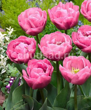Тюльпан Тейблданс (махр.поздн.) Image