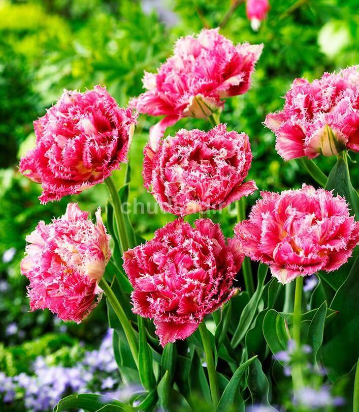 Тюльпан Криспион Суит (2й эффект) Image
