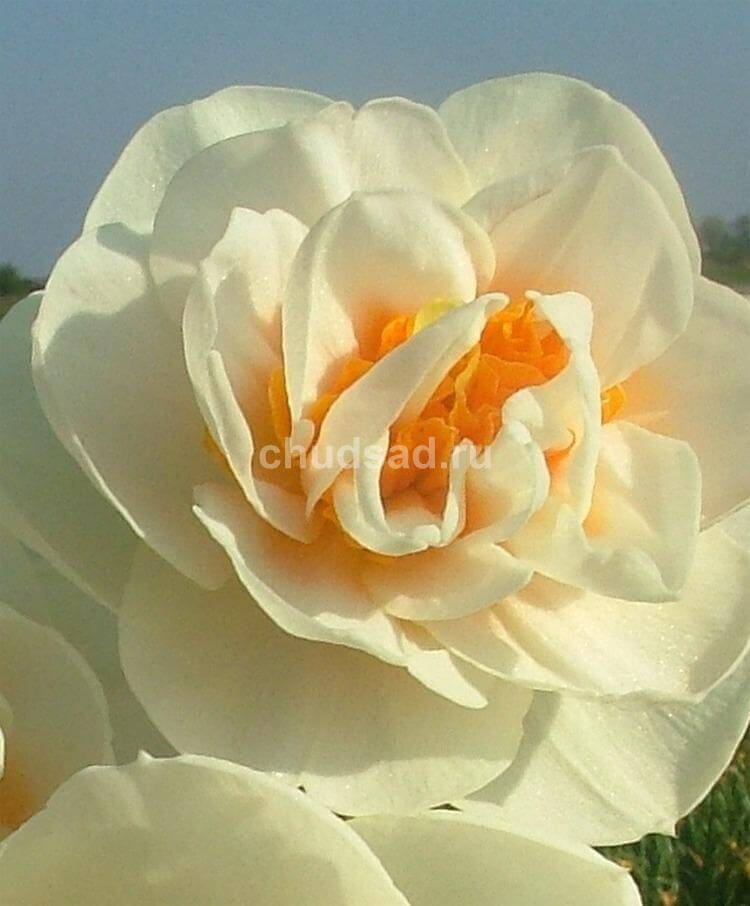 Нарцисс Гай Табор (махр.) Image