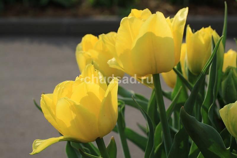 Тюльпан Монте Бью (махр. ранн.) Image