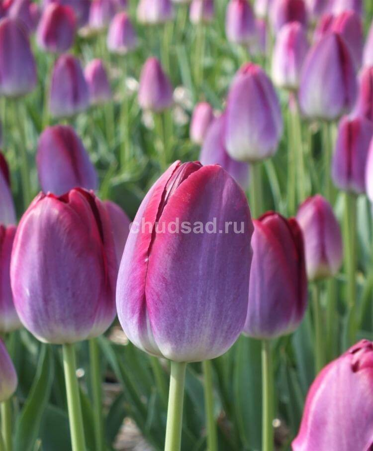 Тюльпан Питтсбург (триумф.) Image