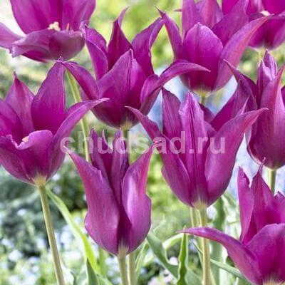 Тюльпан Перпл Дрим (лил.) Image
