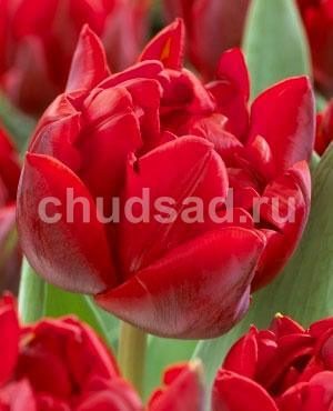 Тюльпан Ред Нова (махр. позд.) Image