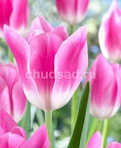 Тюльпан Роял Тен (триумф.) Image
