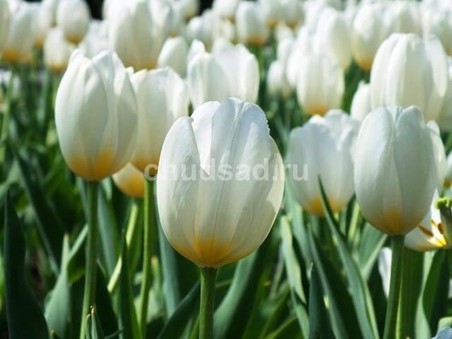 Тюльпан Сноу Маунтейн (триумф) Image