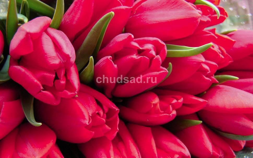 Тюльпан Тринити (мнгцв.) Image